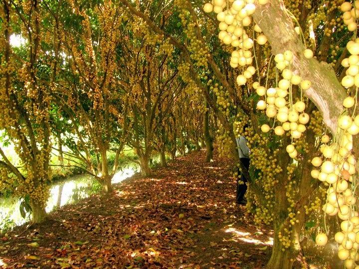 Về vườn dâu Cái Tàu thưởng thức trái dâu nặng trĩu, đắm say lòng người
